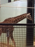 Baby Giraffe at Buffalo Zoo