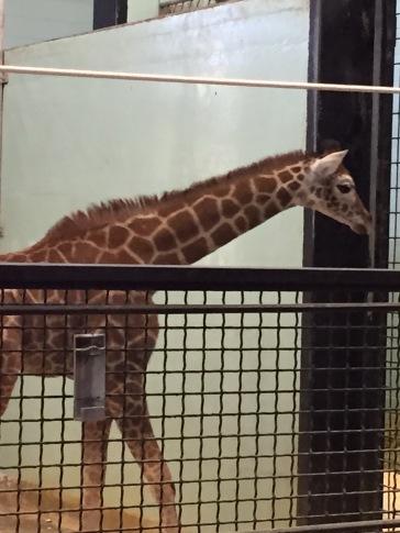 Baby Giraffe at Buffalo Zoo